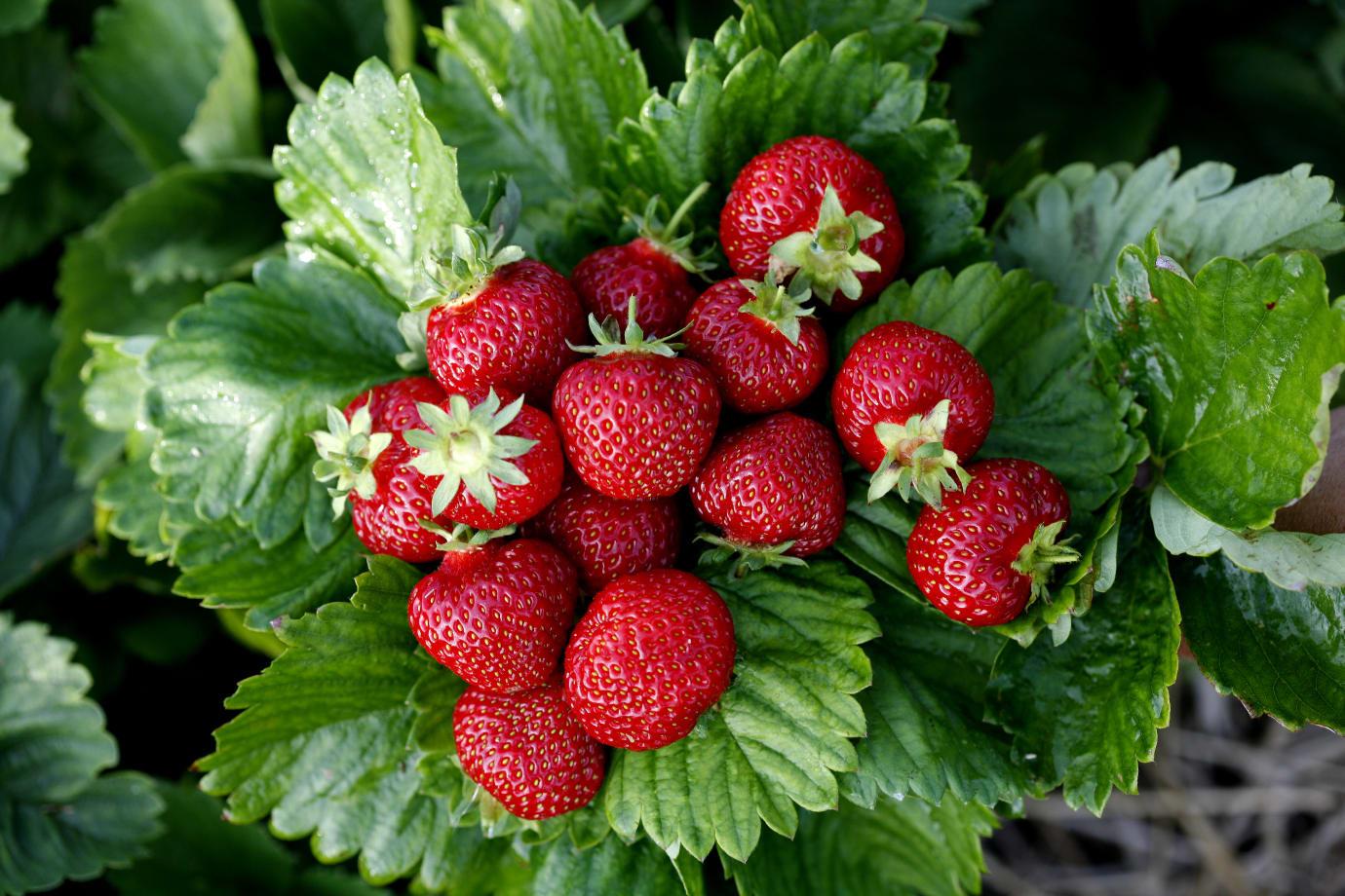 plantera jordgubbsplantor